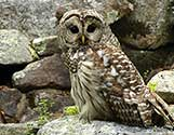 barred owl 2a