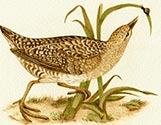 Spotted Crakes 1