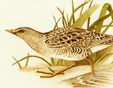 Spotted Crakes 2
