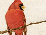 Red Cardinal Portrait3
