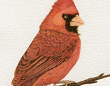 Red Cardinal Portrait4